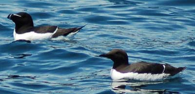Razorbill and Common Murre